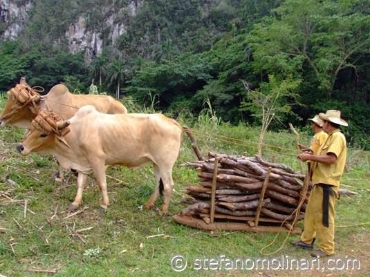 Der traditionellen Landwirtschaft - Vi�ales - Kuba