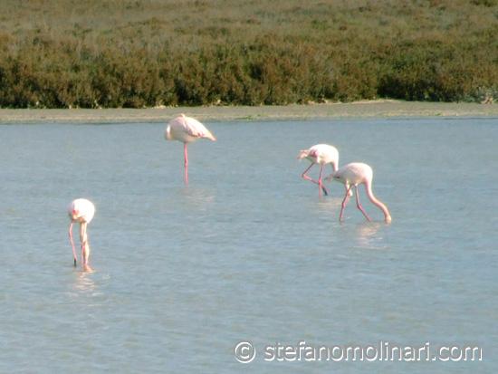 Flamingos in der Camargue -  - Frankreich